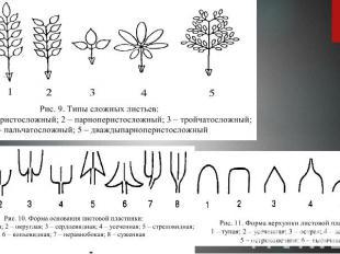 Типы сложных листьев