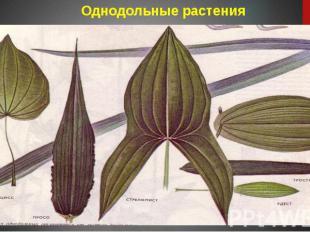 Однодольные растения