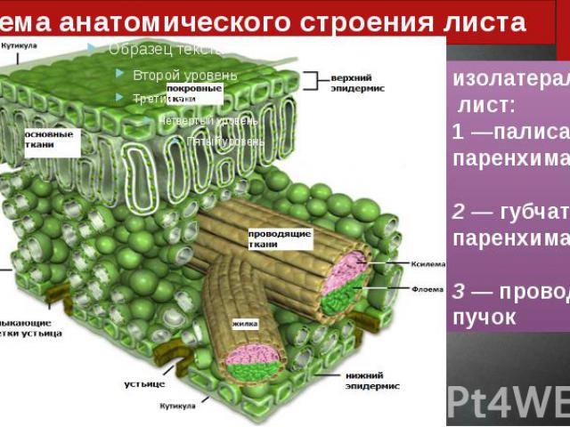 Схема анатомического строения листа
