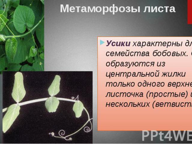 Метаморфозы листа Усики характерны для семейства бобовых. Они образуются из центральной жилки только одного верхнего листочка (простые) или нескольких (ветвистые).