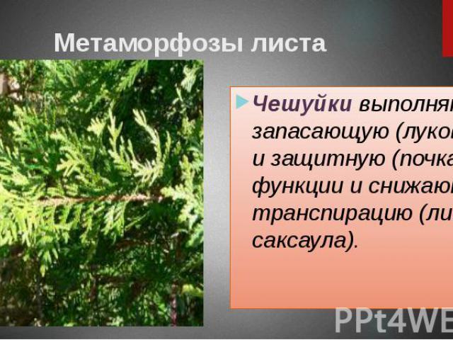 Метаморфозы листа Чешуйки выполняют запасающую (луковица) и защитную (почка) функции и снижают транспирацию (листья саксаула).