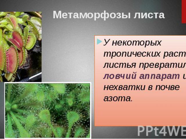Метаморфозы листа У некоторых тропических растений листья превратились в ловчий аппарат из-за нехватки в почве азота.