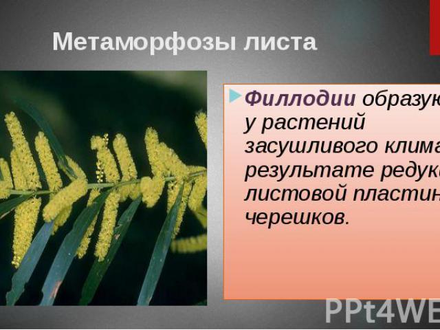 Метаморфозы листа Филлодии образуются у растений засушливого климата в результате редукции листовой пластинки из черешков.