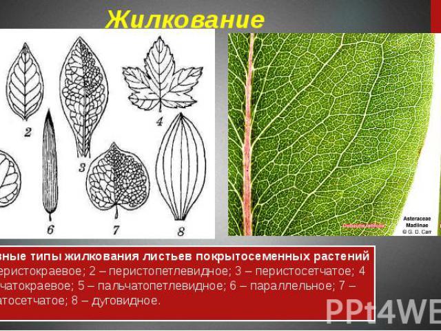 Жилкование Основные типы жилкования листьев покрытосеменных растений : 1 – перистокраевое; 2 – перистопетлевидное; 3 – перистосетчатое; 4 – пальчатокраевое; 5 – пальчатопетлевидное; 6 – параллельное; 7 – пальчатосетчатое; 8 – дуговидное.