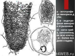 а - эктотрофная микориза дуба; б, в - эндотрофная микориза ятрышника (б - нити г