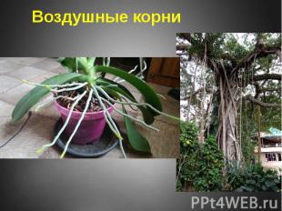 Воздушные корни