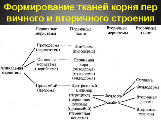 Формирование тканей корня первичного и вторичного строения