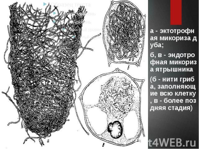 а - эктотрофная микориза дуба; б, в - эндотрофная микориза ятрышника (б - нити гриба, заполняющие всю клетку, в - более поздняя стадия)