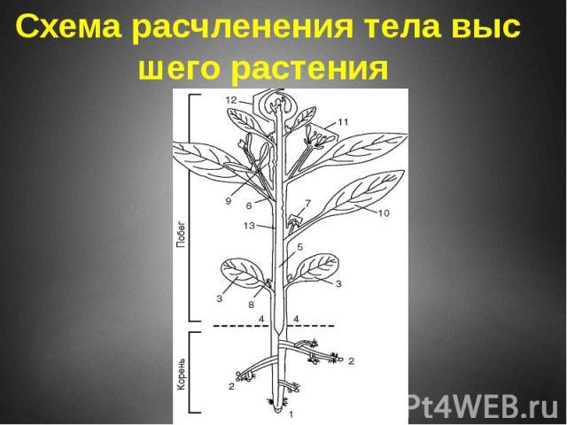 Схема расчленения тела высшего растения