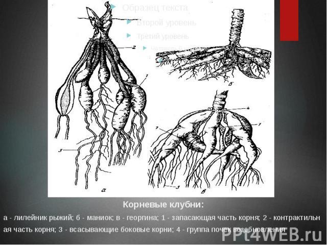 Корневые клубни: Корневые клубни: а - лилейник рыжий; б - маниок; в - георгина; 1 - запасающая часть корня; 2 - контрактильная часть корня; 3 - всасывающие боковые корни; 4 - группа почек возобновления