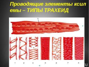 Проводящие элементы ксилемы – ТИПЫ ТРАХЕИД