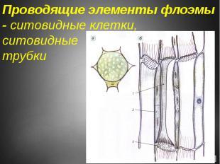 Проводящие элементы флоэмы - ситовидные клетки, ситовидные трубки
