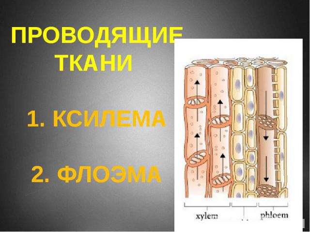 ПРОВОДЯЩИЕ ТКАНИ 1. КСИЛЕМА 2. ФЛОЭМА