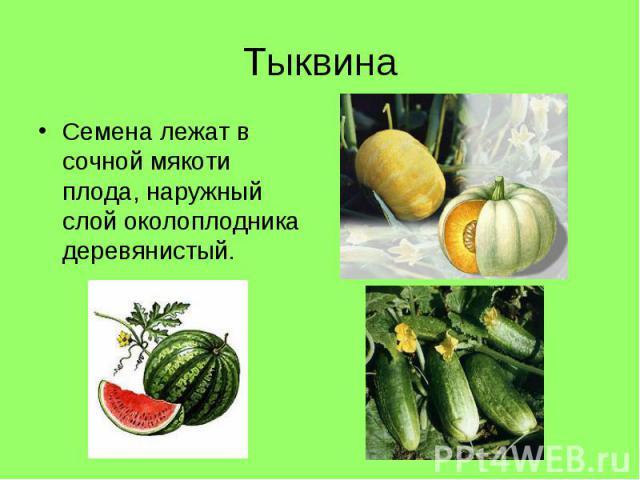 Семена лежат в сочной мякоти плода, наружный слой околоплодника деревянистый. Семена лежат в сочной мякоти плода, наружный слой околоплодника деревянистый.