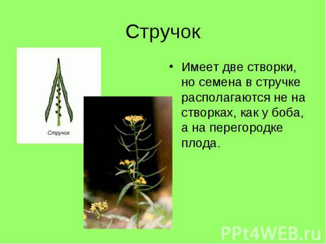 Имеет две створки, но семена в стручке располагаются не на створках, как у боба, а на перегородке плода. Имеет две створки, но семена в стручке располагаются не на створках, как у боба, а на перегородке плода.