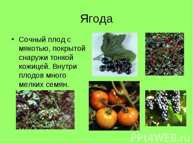 Сочный плод с мякотью, покрытой снаружи тонкой кожицей. Внутри плодов много мелких семян. Сочный плод с мякотью, покрытой снаружи тонкой кожицей. Внутри плодов много мелких семян.