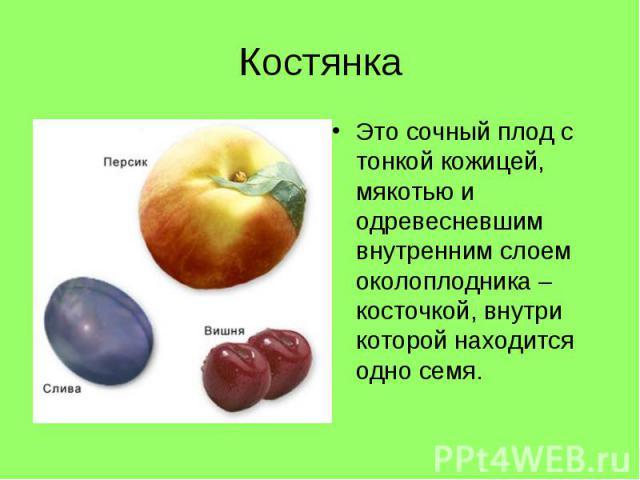 Это сочный плод с тонкой кожицей, мякотью и одревесневшим внутренним слоем околоплодника – косточкой, внутри которой находится одно семя. Это сочный плод с тонкой кожицей, мякотью и одревесневшим внутренним слоем околоплодника – косточкой, внутри ко…