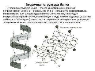 Вторичная структура белка – способ упаковки очень длинной полипептидной цепи в –
