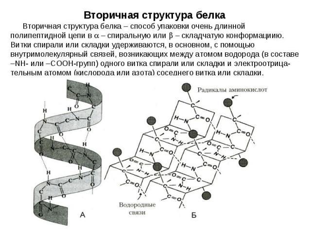 Вторичная структура белка – способ упаковки очень длинной полипептидной цепи в – спиральную или – складчатую конформациию. Витки спирали или складки удерживаются, в основном, с помощью внутримолекулярный связей, возникающих между атомом водорода (в …