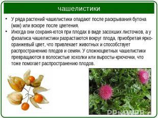 У ряда растений чашелистики опадают после раскрывания бутона (мак) или вскоре по