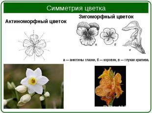 Актиноморфный цветок Актиноморфный цветок