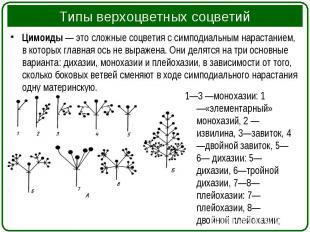 Цимоиды— это сложные соцветия с симподиальным нарастанием, в которых главн
