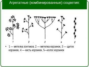 1 — метелка зонтиков, 2 — метелка корзинок, 3 — щиток корзинок, 4 — кисть корзин