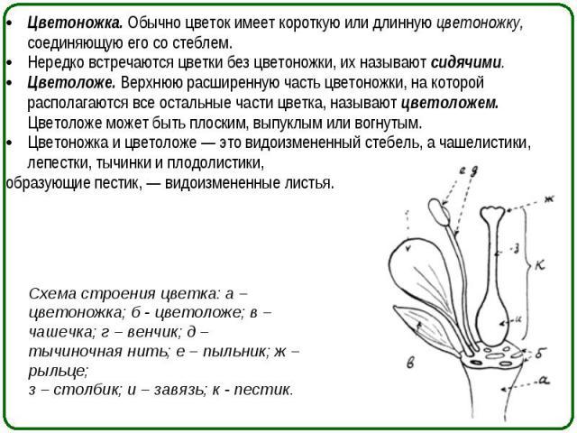 Цветоножка. Обычно цветок имеет короткую или длинную цветоножку, соединяющую его со стеблем. Цветоножка. Обычно цветок имеет короткую или длинную цветоножку, соединяющую его со стеблем. Нередко встречаются цветки без цветоножки, их называют сидячими…