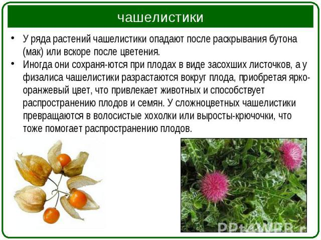 У ряда растений чашелистики опадают после раскрывания бутона (мак) или вскоре после цветения. У ряда растений чашелистики опадают после раскрывания бутона (мак) или вскоре после цветения. Иногда они сохраняются при плодах в виде засохших листоч…