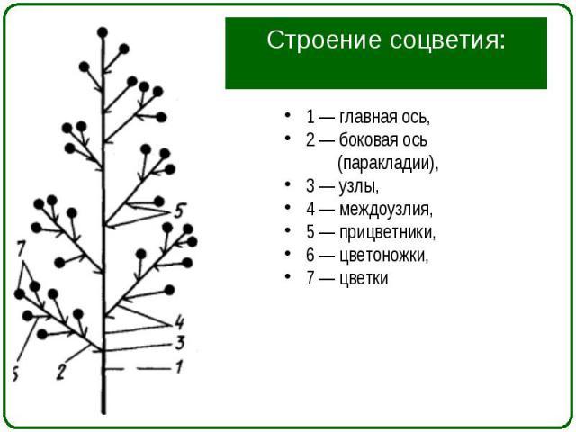 1 — главная ось, 1 — главная ось, 2 — боковая ось (паракладии), 3 — узлы, 4 — междоузлия, 5 — прицветники, 6 — цветоножки, 7 — цветки