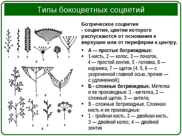 А — простые ботриоидные: А — простые ботриоидные: 1-кисть, 2 — колос, 3 — початок, 4 — простой зонтик, 5 - головка, 6 — корзинка, 7 — щиток (4. 5, 6 — с укороченной главной осью, прочие — с удлиненной); Б - сложные ботриоидные. Метелка и ее производ…