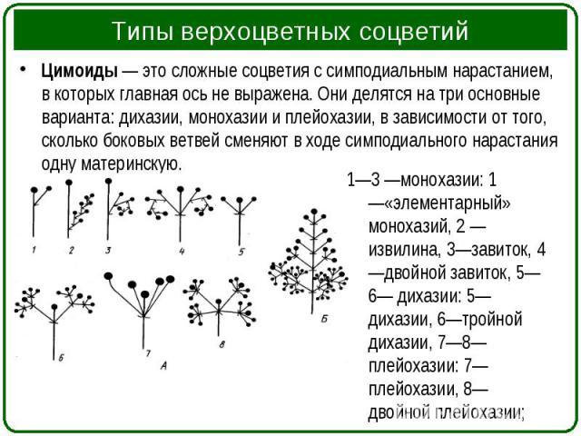 Цимоиды— это сложные соцветия с симподиальным нарастанием, в которых главная ось не выражена. Они делятся на три основные варианта: дихазии, монохазии и плейохазии, в зависимости от того, сколько боковых ветвей сменяют в ходе симподиального на…