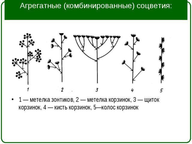 1 — метелка зонтиков, 2 — метелка корзинок, 3 — щиток корзинок, 4 — кисть корзинок, 5—колос корзинок 1 — метелка зонтиков, 2 — метелка корзинок, 3 — щиток корзинок, 4 — кисть корзинок, 5—колос корзинок
