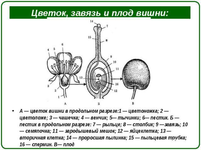 А — цветок вишни в продольном разрезе:1 — цветоножка; 2 — цветоложе; 3 — чашечка; 4 — венчик; 5— тычинки; 6— пестик. Б — пестик в продольном разрезе: 7 — рыльце; 8 — столбик; 9 —завязь; 10 — семяпочка; 11 — зародышевый мешок; 12 — яйцеклетка; 13 — в…