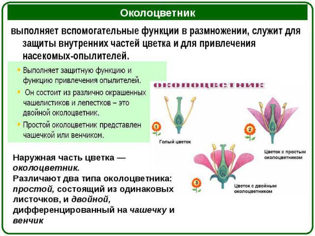 выполняет вспомогательные функции в размножении, служит для защиты внутренних частей цветка и для привлечения насекомых-опылителей. выполняет вспомогательные функции в размножении, служит для защиты внутренних частей цветка и для привлечения насеком…