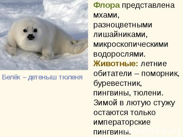 Белёк – детеныш тюленя Белёк – детеныш тюленя