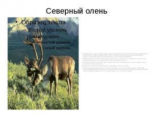 Северный олень Северный олень – одно из самых красивых животных Севера. Кроме то