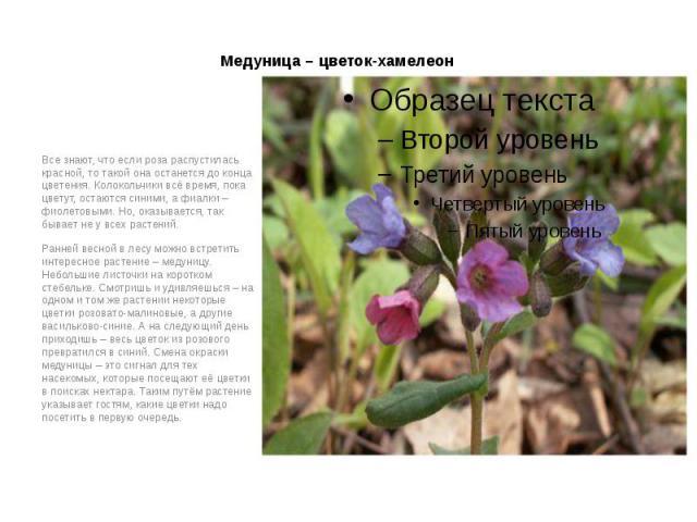 Медуница – цветок-хамелеон Все знают, что если роза распустилась красной, то такой она останется до конца цветения. Колокольчики всё время, пока цветут, остаются синими, а фиалки – фиолетовыми. Но, оказывается, так бывает не у всех растений. Ранней …