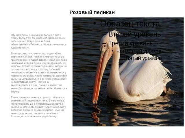 Розовый пеликан Эти неуклюжие на суше и ловкие в воде птицы гнездятся в дельтах рек и на морских побережьях. Когда-то они были обыкновенны в России, а теперь занесены в Красную книгу. Большую часть времени проводящий на воде пеликан все-таки не слиш…
