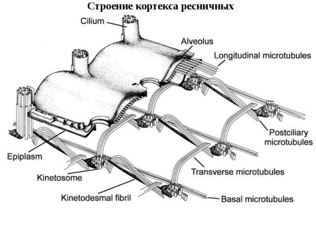 Строение кортекса ресничных