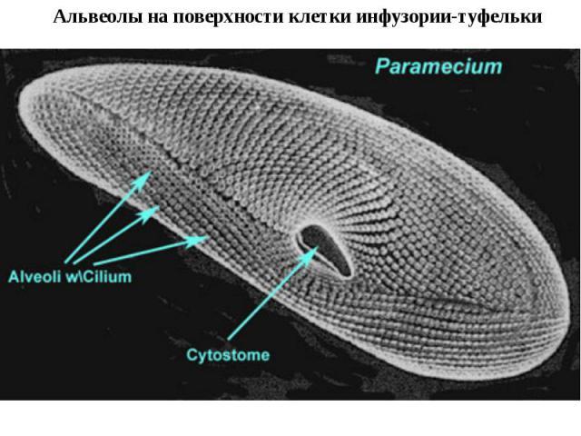 Альвеолы на поверхности клетки инфузории-туфельки