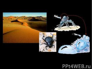 Чернотелки Stenocara в пустыне Намиб