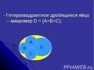 - Гетероквадрантное дробящееся яйцо – макромер D > (A=B=C);