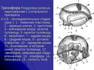 Трохофора Polygordius ponticus, нарисованная с «тотального» препарата. А и Б - п
