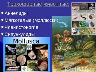 Трохофорные животные: Аннелиды Мягкотелые (моллюски) Членистоногие Сипункулиды
