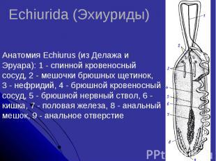 Echiurida (Эхиуриды)