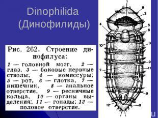 Dinophilida (Динофилиды)