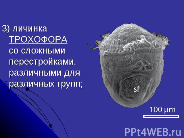 3) личинка ТРОХОФОРА со сложными перестройками, различными для различных групп;