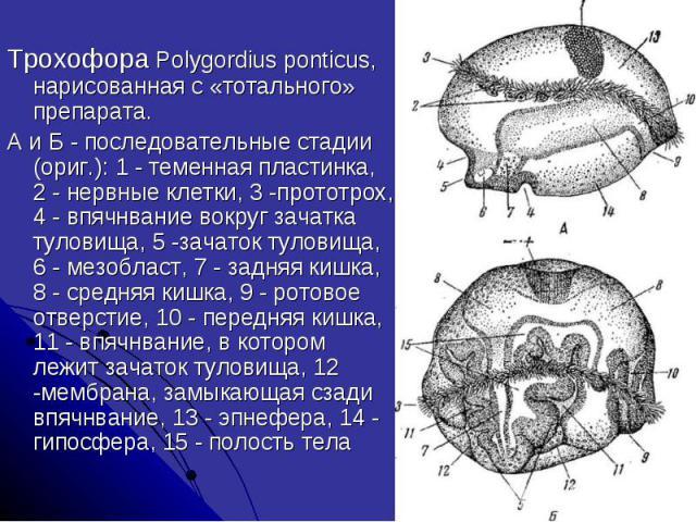 Трохофора Polygordius ponticus, нарисованная с «тотального» препарата. А и Б - последовательные стадии (ориг.): 1 - теменная пластинка, 2 - нервные клетки, 3 -прототрох, 4 - впячнвание вокруг зачатка туловища, 5 -зачаток туловища, 6 - мезобласт, 7 -…
