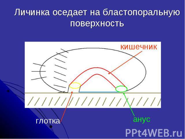 Личинка оседает на бластопоральную поверхность